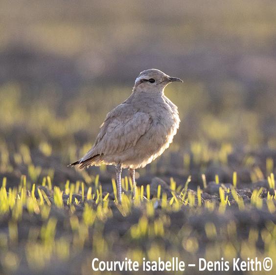 Un oiseau d'Afrique en Eure-et-Loir
