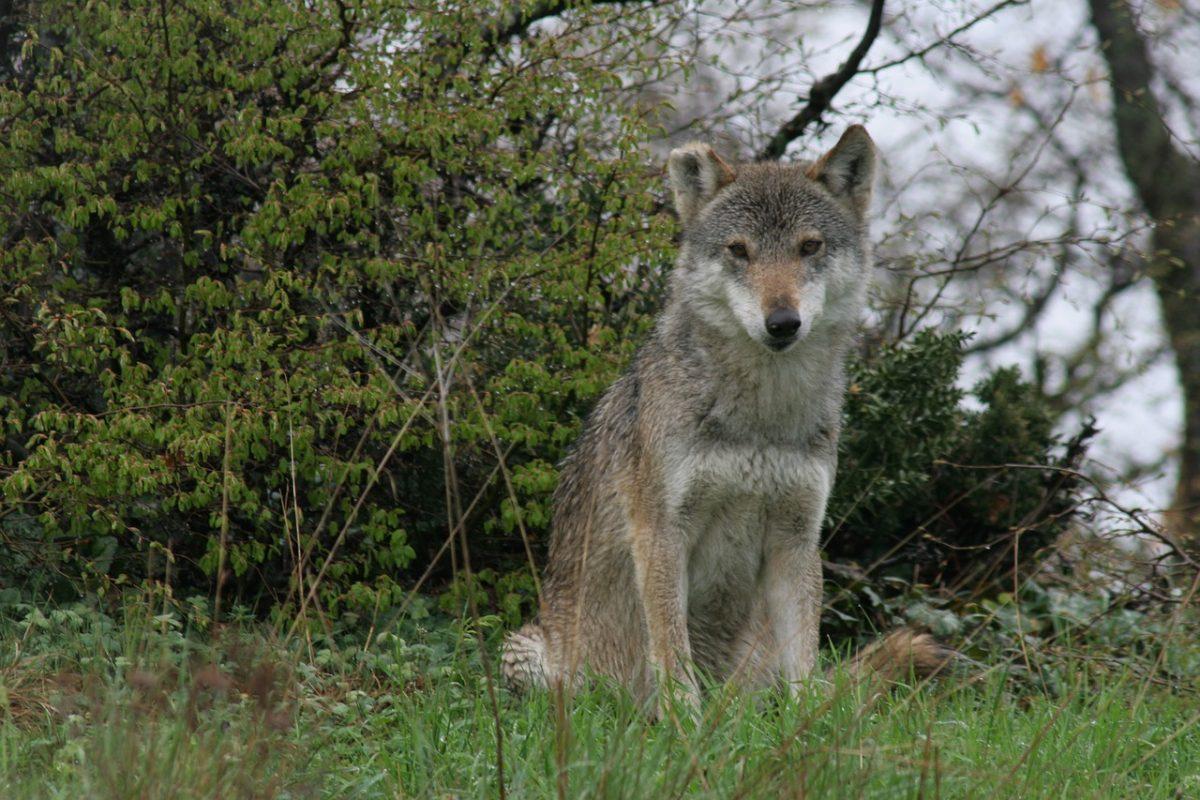 Un loup en Eure-et-Loir